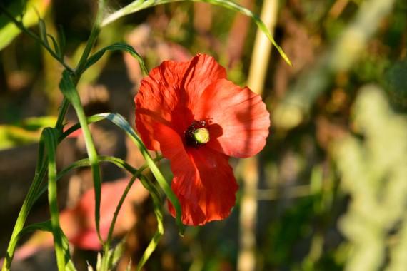 red flower grass