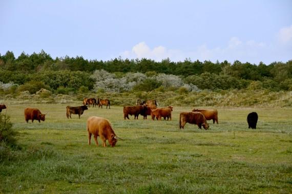 scottish highland cattles horses kennemerland