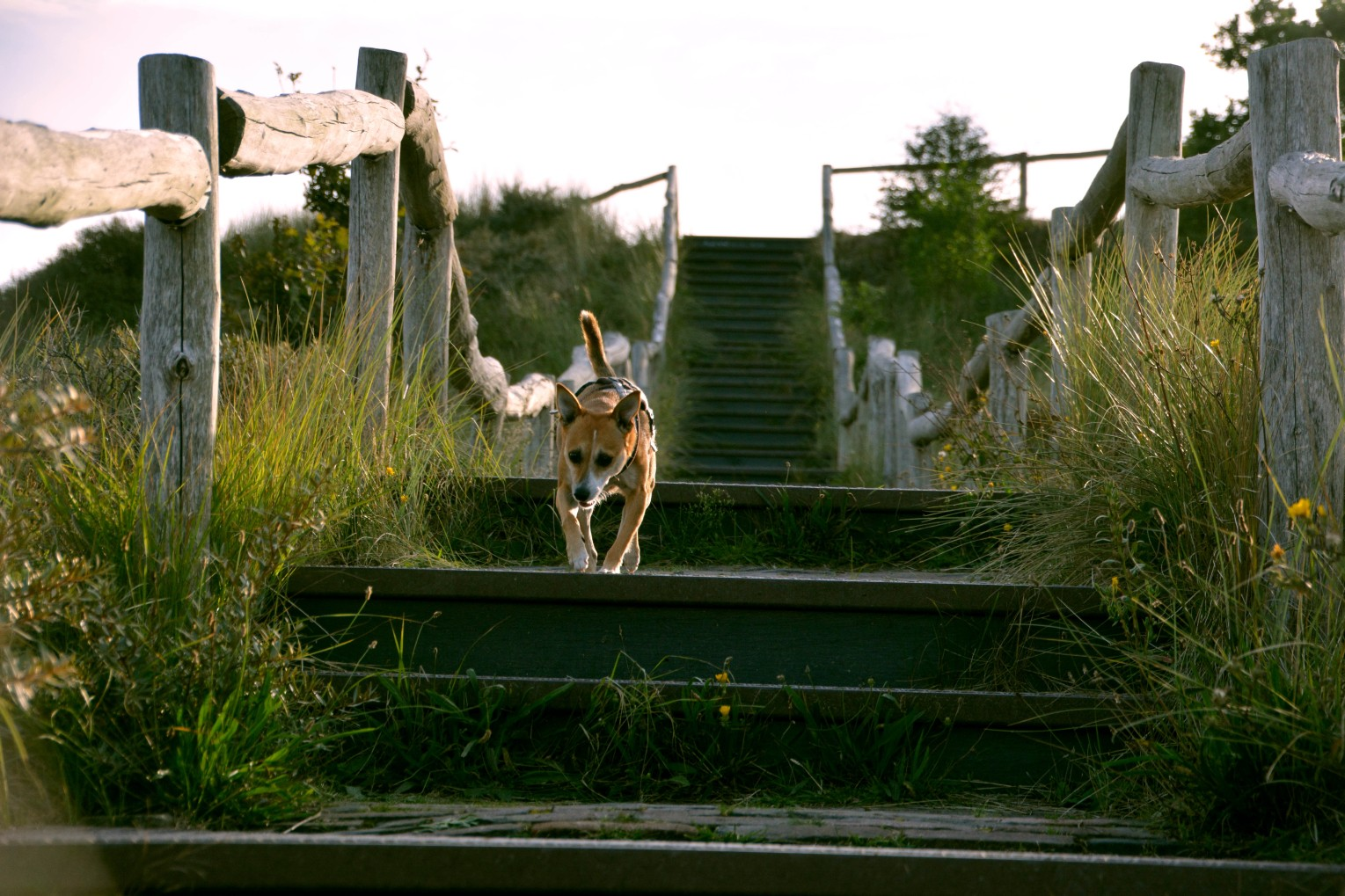 dog running down stairs in the dunes.jpg