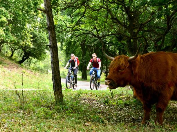 bicycle forest scottish highland cattle kennemerland