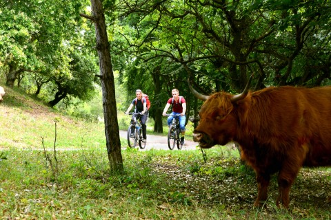 bicycle forest scottish highland cattle kennemerland