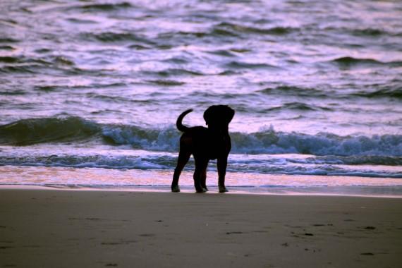 dog sunset sea beach