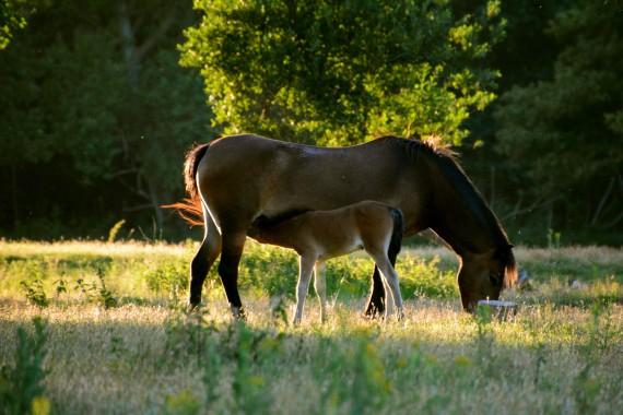 baby horse eating gras kennemerland Geversduin nord holland