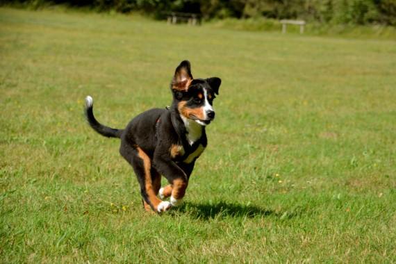 puppy running grass